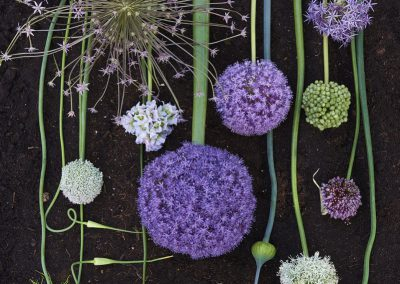 Familie Allium.Low