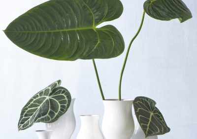 groenblad anthurium seriepreview